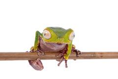 The white-lined leaf frog Royalty Free Stock Photography