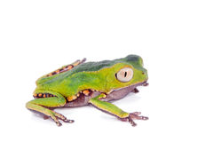 The white-lined leaf frog Royalty Free Stock Photo