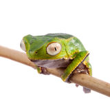 The white-lined leaf frog Stock Photos
