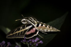 White-Lined Sphinx Hummingbird Moth Stock Photography