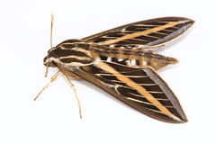 White-lined Sphinx Moth Royalty Free Stock Photo