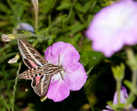 White-Lined Sphinx Moth Stock Photos