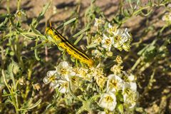 White-lined Sphinx moth Hyles lineata caterpillars feeding, Anza Borrego Desert State Park, San Diego county, California stock photo