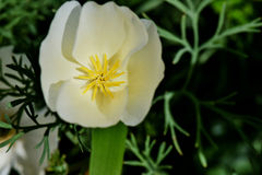 White Linen Poppy. White Linen California Poppy flower Royalty Free Stock Photo