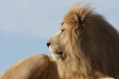 White Lion. Big male white lion staring into the distance Royalty Free Stock Photography
