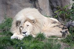 White lion. White sleepy male lion outdoors stock images