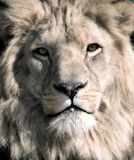 White lion. Close up portrait of the white lions face Stock Images