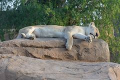 A Sleeping, Rare, White Lion on a rock stock photo