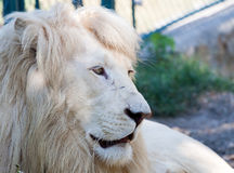 White Lion. With scars on the face imprisoned stock image