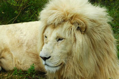 White lion. Portrait of white Kruger lion outdoors Stock Photography