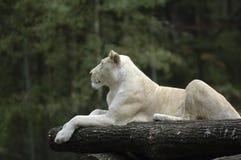 White Lion Royalty Free Stock Photos