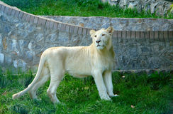 White Lion. Beautiful young white lion in Zoo royalty free stock photography