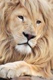 White lion Stock Image