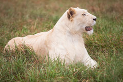 White lion. Laying on the grass, but something caught her attention stock photo