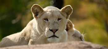 White lion Royalty Free Stock Photos