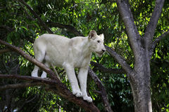 White lion Stock Images