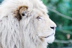 White lion. Closeup of head profile showing fur detail Royalty Free Stock Photo