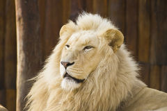 White lion. The picture of very rare White Lion from Bratislava's ZOO Royalty Free Stock Image