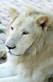 White lion. Close-up image of a white lion in a zoo Royalty Free Stock Images