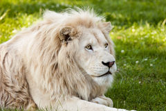 Free White Lion Royalty Free Stock Photos - 60233228