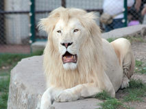White lion. In a zoo Stock Image