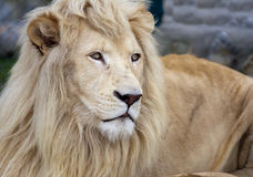 White Lion. Looking in distance stock photography