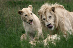 White Lion And Lioness Royalty Free Stock Images