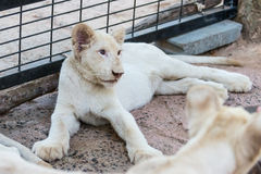 White lion baby in the zoo Royalty Free Stock Photos