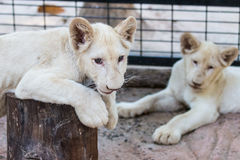 White lion baby in the zoo Stock Photos