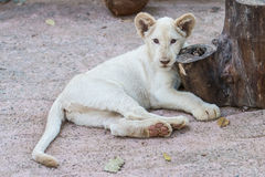 White lion baby in the zoo Royalty Free Stock Photo