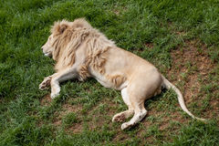 White lion Royalty Free Stock Image