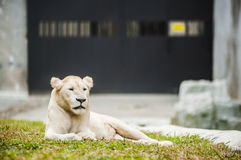 White lion in captivity Royalty Free Stock Image