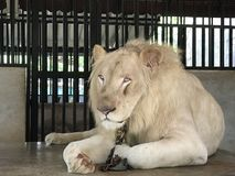The white lion is chained to sit in a cage. Royalty Free Stock Photos