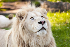 White lion. Close up shot of white lion portrait Royalty Free Stock Photography