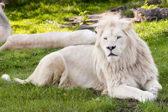 White lion. Close up shot of white lion portrait Stock Image