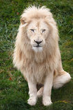 White lion. Close up shot of lion portrait Stock Photos