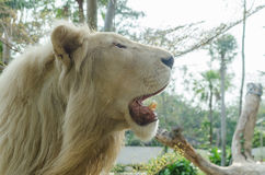 White lion crop face. In safari Royalty Free Stock Photography