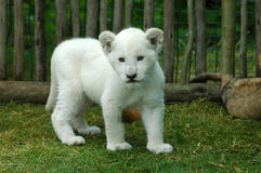 White lion cub. A seven weeks old cute rare white lion cub walking in a game park in South Africa royalty free stock images