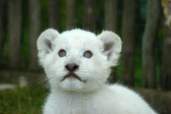 White lion cub. A seven weeks old cute rare white lion cub head portrait watching other white lion cubs in a game park in South Africa stock photos