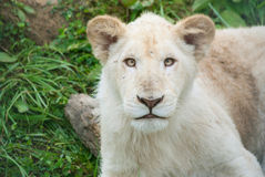 White lion cub Stock Photography