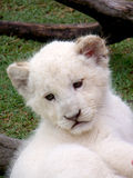 White Lion Cub. A close up of a young white lion cub Royalty Free Stock Images