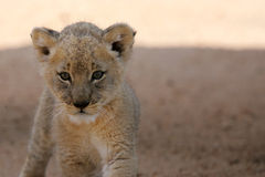 Free White Lion Cub Royalty Free Stock Photography - 3988667