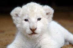White lion cub. The very rare white lion. This is the 240,000th image online royalty free stock photography