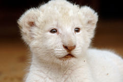 White lion cub. The very rare white lion stock images