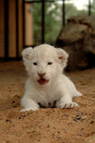 White lion cub. The very rare white lion stock photography