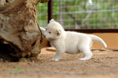 White lion cub. The very rare white lion royalty free stock photography