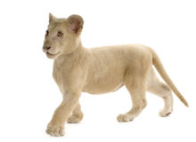 White Lion Cub (5 months) Royalty Free Stock Photography