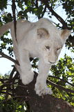 White lion cub Royalty Free Stock Photo