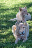 White Lion Cub. African White Lion cubs relax in the midday sun Royalty Free Stock Photos