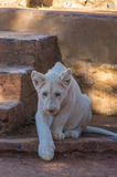 White Lion Cub. African White Lion cubs relax in the midday sun Royalty Free Stock Image
